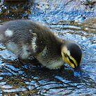Duckling in Stream by Stephanie Jensen