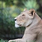 Just Lion around by BBCsImagery