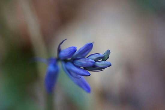 Bluebell buds  by Joyce Knorz