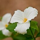 White Trillium by Michael Cummings