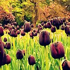 Tulips in the Park by dawnandchris