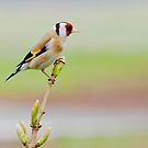 European Goldfinch by M.S. Photography & Art