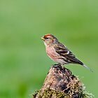Lesser Redpoll by Margaret S Sweeny