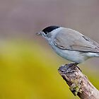 Blackcap by Margaret S Sweeny