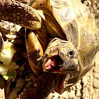 Yawning Tortoise! by Jonathan  Ladd