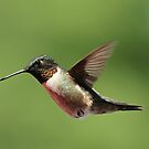 Ruby throated Hummingbird. by Gregg Williams