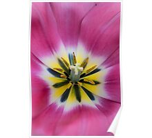 Heart of Pink Tulip. The Tulips of Holland Poster