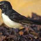 Willie Wagtail on Longreef Beach by Doug Cliff