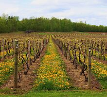 Vineyards at Hunt Country by Raider6569