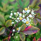 Nandina by AuntDot