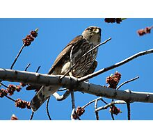 Springtime Merlin Hawk Photographic Print