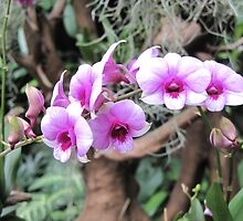 Moth Orchid by helenclare
