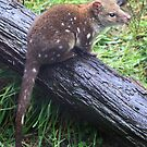 Spotted Tailed Quoll by Donovan wilson
