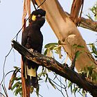 Yellow Tailed Black Cockatoo in old Gum Tree by Bev Pascoe