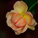 Rose Beauty by Brenda Burnett