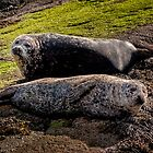 Seal Mates by hebrideslight