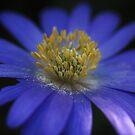 Anemone Blanda Macro by Astrid Ewing Photography