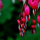 Lamprocapnos Spectabilis by Andrew Pounder