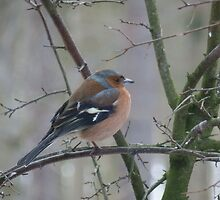 chaffinch by bexceli
