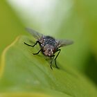 The mouth of a fly (Please enlarge to view the mouth, its gross :-) by Nicole W.
