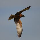 Swamp Harrier Glance by TootgarookSwamp
