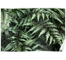 Japanese Painted Fern  Poster