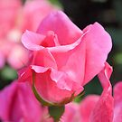 Pink Rose Bud by ©Dawne M. Dunton