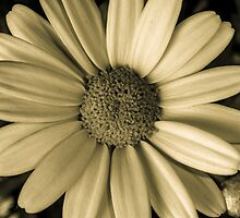 Marguerite Daisy in Monochrome by Karl Geiger Jr.