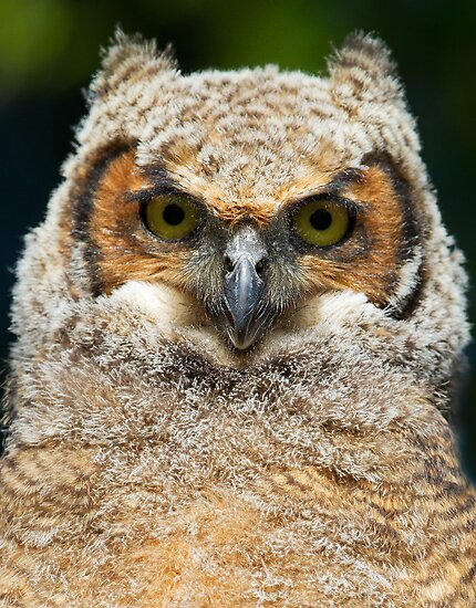 GHO owlet by Jim Cumming