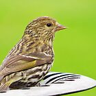 Pine Siskin on the Bath by lorilee