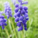 Purple Grape Hyacinth by vigor