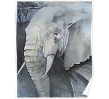 Study of an Elephant Poster