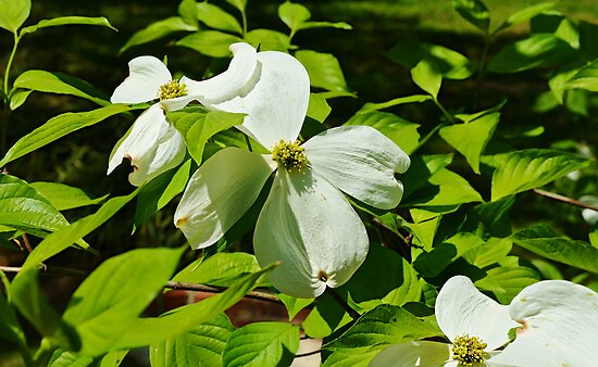 last of the dogwoods by Scott Mitchell