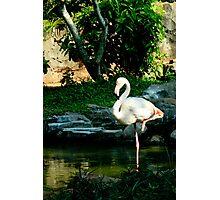 Elegant White Flamingo Photographic Print