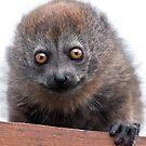 Baby Lemur by Krys Bailey