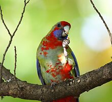A Mallee Ringneck( I think you are correct these are special nuts!!) by jozi1