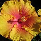 Gold &amp; Flame Hibiscus, Botanic Gdns. Adelaide, Sth. Aust. by Rita Blom