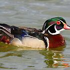 A beautiful wood duck by jozi1