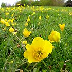 Buttercups by trish725
