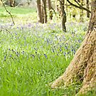 Bluebell Woods by Stephen Knowles