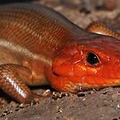 Broad-headed Skink by Michael L Dye