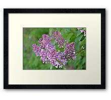 Lilac Dreams Framed Print