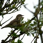 Garden Warbler by VoluntaryRanger