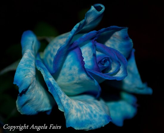 Blue Rose  by Angie66