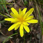 Yam Daisy (Microseris lanceolata) by Ern Mainka