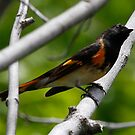 American Redstart by Dennis Cheeseman