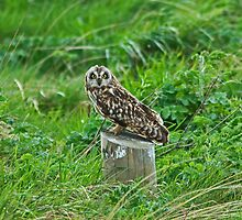 Short-eared Owl by VoluntaryRanger