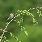 Chiffchaff by VoluntaryRanger