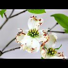 Cornus Florida - Flowering Dogwood by  Sophie Smith