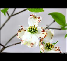 Cornus Florida - Flowering Dogwood by © Sophie W. Smith
